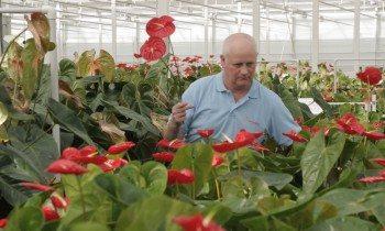 红掌切花采收